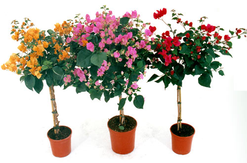 Bouganvillea in vaso unbranded offerte e promozioni for Bouganville in vaso
