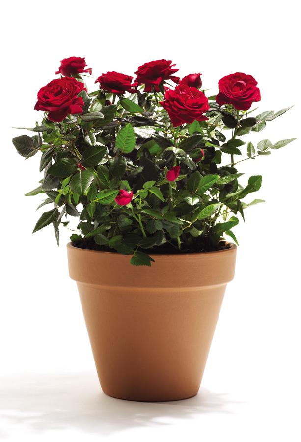 Ciclamino in vaso unbranded offerte e promozioni for Roselline in vaso